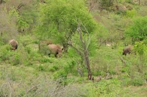 White Rhinos making their way through field