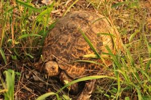 Close up of Leopard Tortoise
