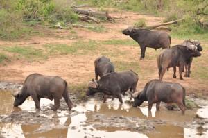 Buffalos at the watering hole